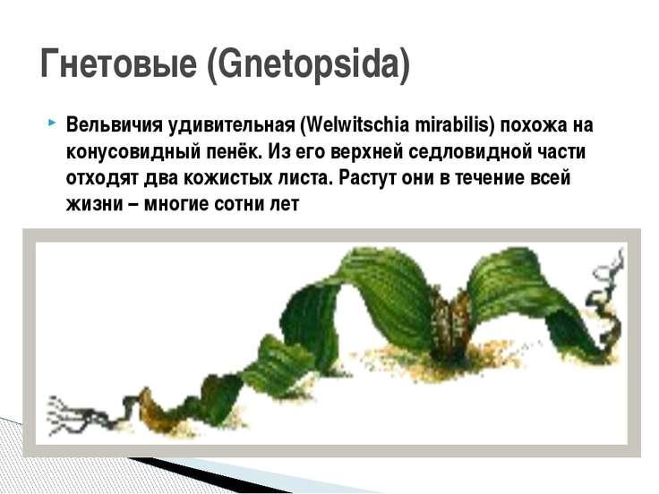 Вельвичия удивительная (Welwitschia mirabilis) похожа на конусовидный пенёк. ...