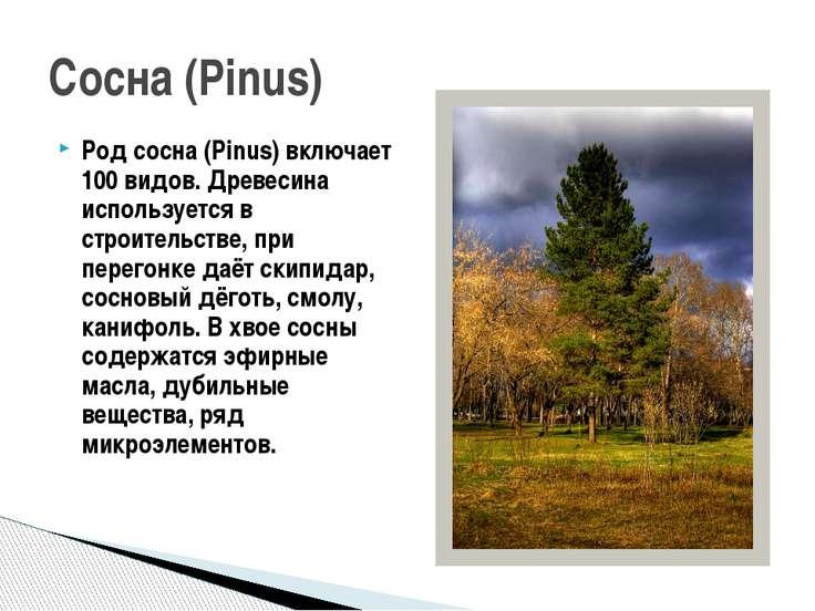 Род сосна (Pinus) включает 100 видов. Древесина используется в строительстве,...