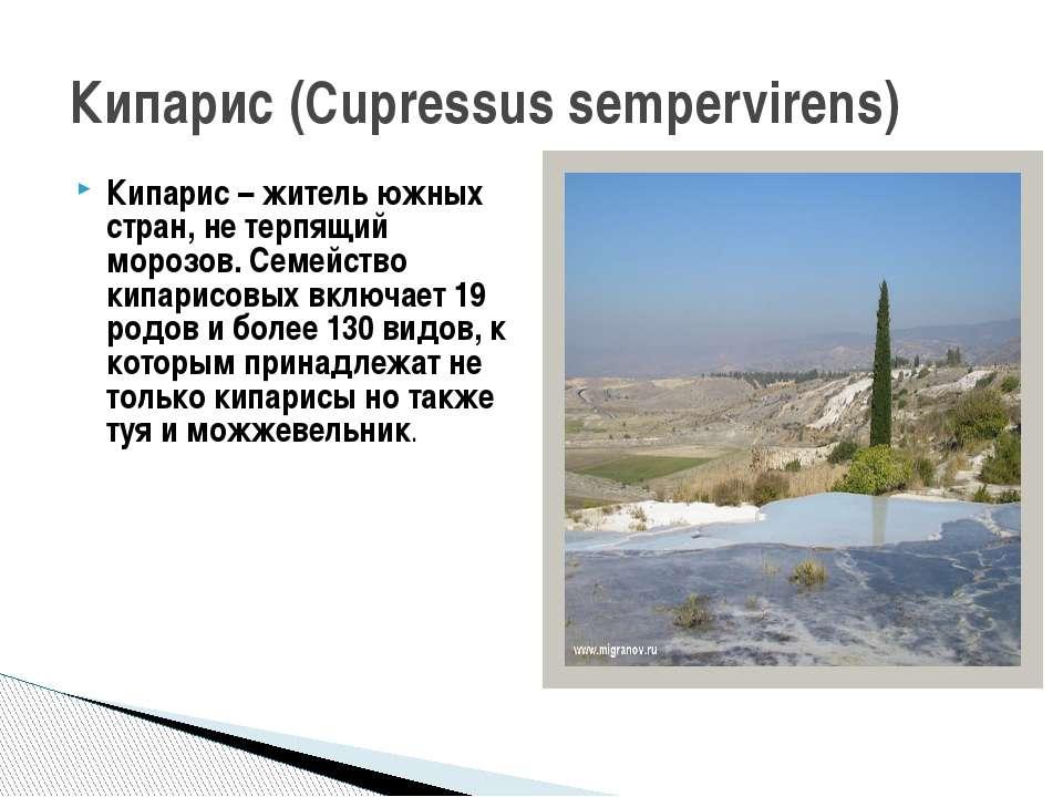 Кипарис – житель южных стран, не терпящий морозов. Семейство кипарисовых вклю...