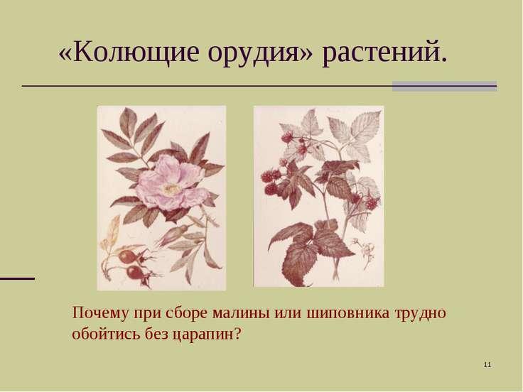 * «Колющие орудия» растений. Почему при сборе малины или шиповника трудно обо...