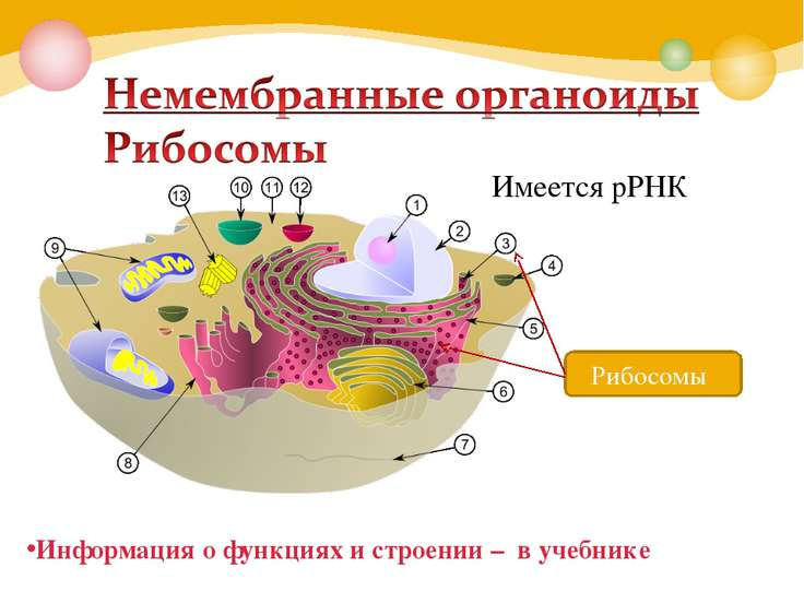 Рибосомы Имеется рРНК Информация о функциях и строении – в учебнике