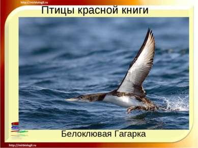 Птицы красной книги Белоклювая Гагарка