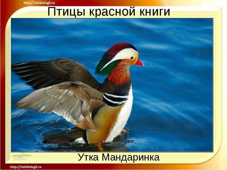 Птицы красной книги Утка Мандаринка