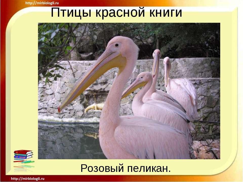 Птицы красной книги Розовый пеликан.