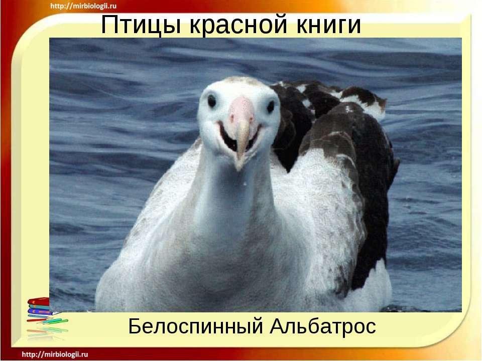 Птицы красной книги Белоспинный Альбатрос