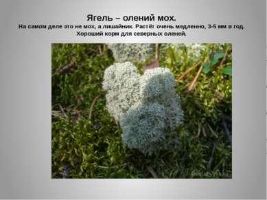 Ягель – олений мох. На самом деле это не мох, а лишайник. Растёт очень медлен...