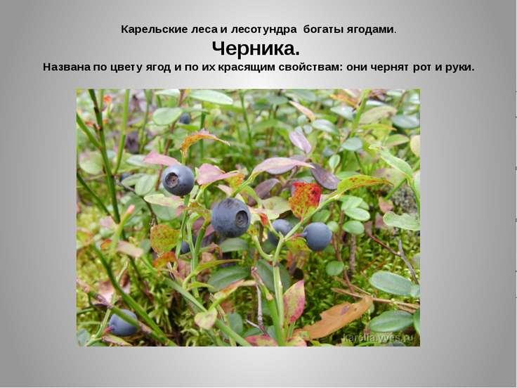Карельские леса и лесотундра богаты ягодами. Черника. Названа по цвету ягод и...
