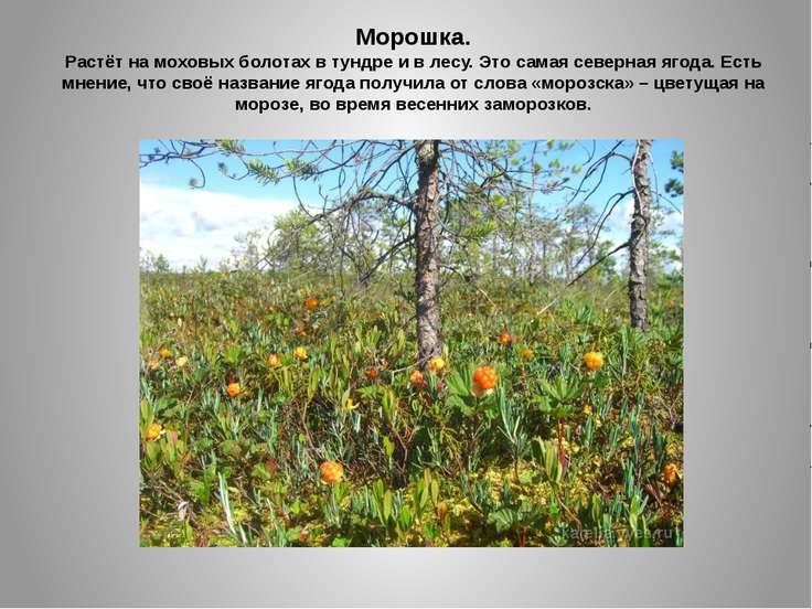 Морошка. Растёт на моховых болотах в тундре и в лесу. Это самая северная ягод...