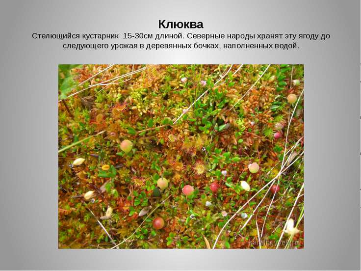 Клюква Стелющийся кустарник 15-30см длиной. Северные народы хранят эту ягоду ...