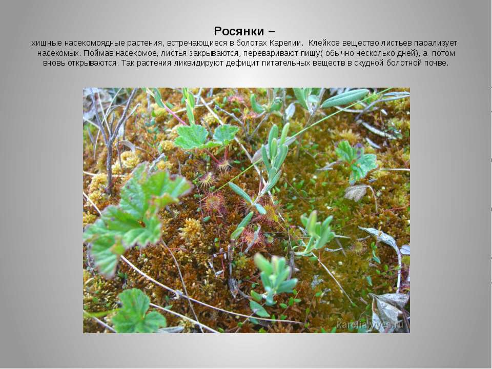 Росянки – хищные насекомоядные растения, встречающиеся в болотах Карелии. Кле...