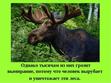 Однако тысячам из них грозит вымирание, потому что человек вырубает и уничтож...