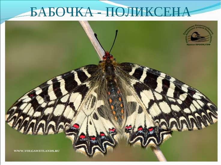 БАБОЧКА - ПОЛИКСЕНА