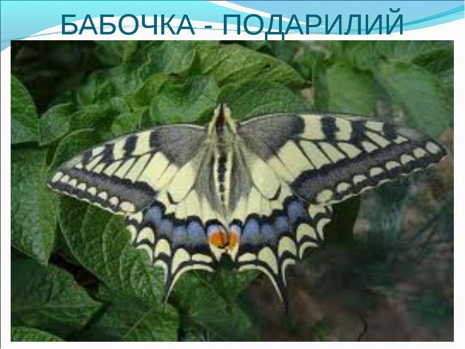 БАБОЧКА - ПОДАРИЛИЙ