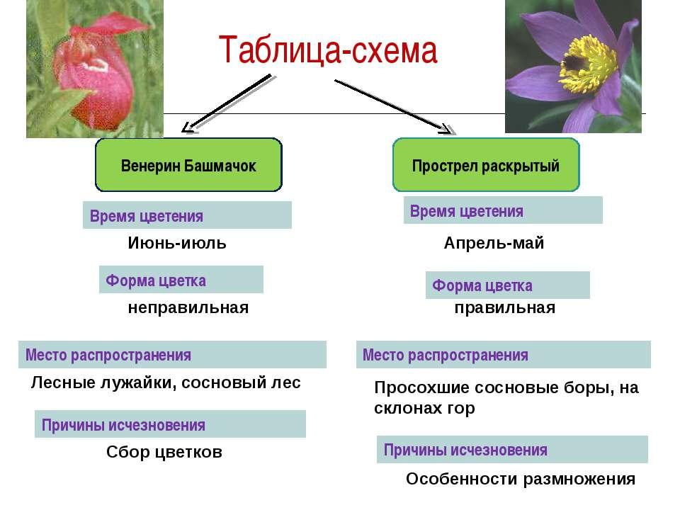 Таблица-схема Венерин Башмачок Прострел раскрытый Июнь-июль Апрель-май неправ...