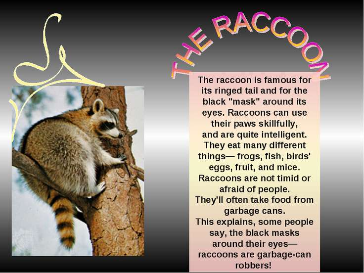 "The raccoon is famous for its ringed tail and for the black ""mask"" around its..."