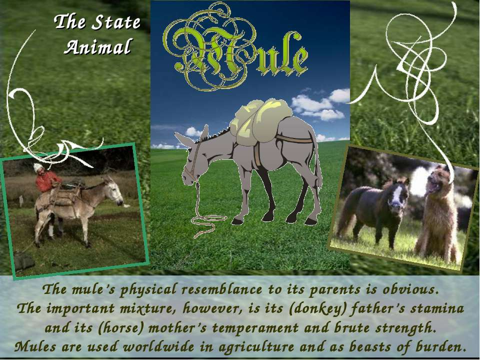 The mule's physical resemblance to its parents is obvious. The important mixt...
