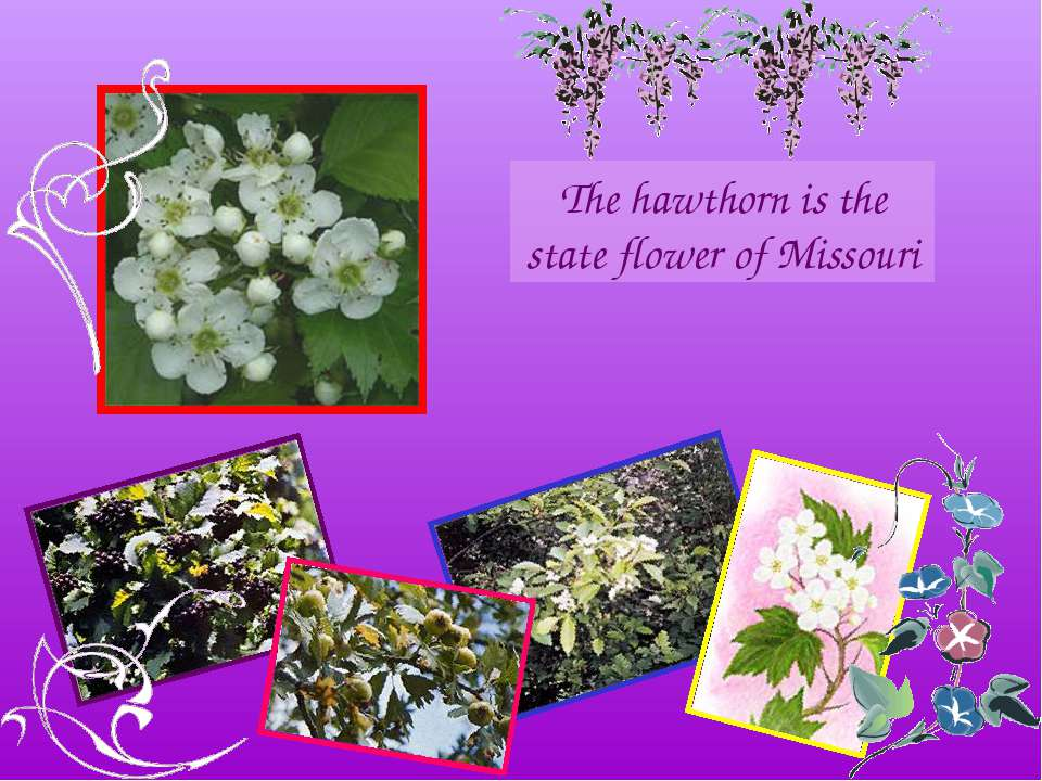 The hawthorn is the state flower of Missouri