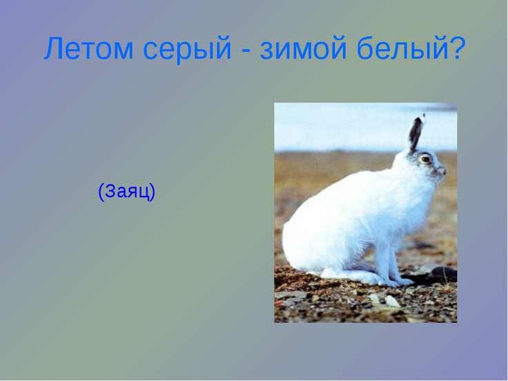 Летом серый - зимой белый? (Заяц)
