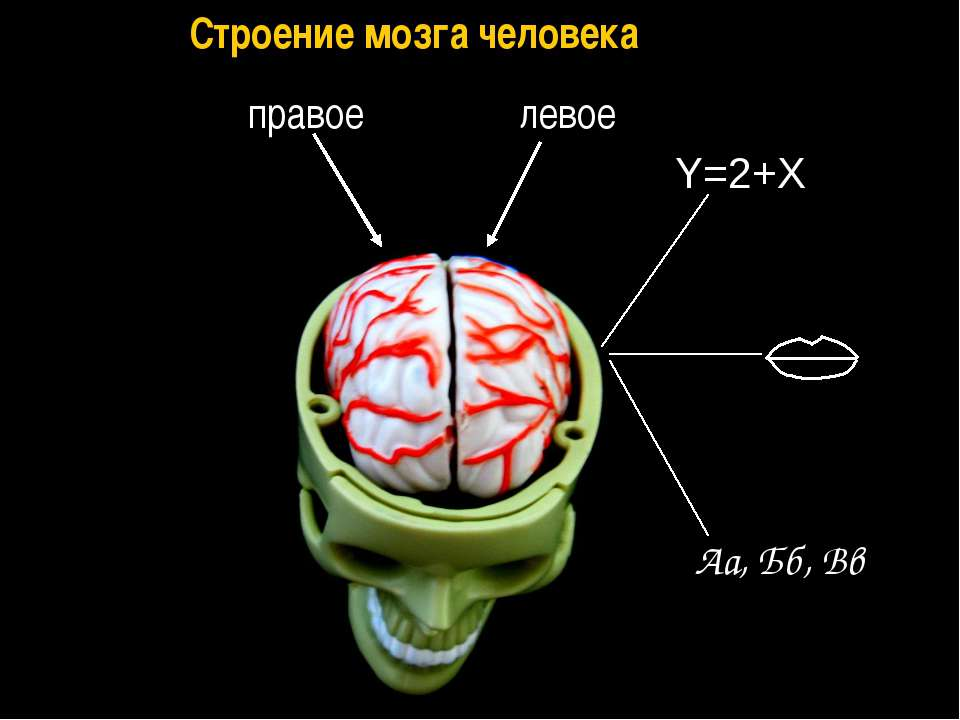 Аа, Бб, Вв Y=2+X правое левое Строение мозга человека