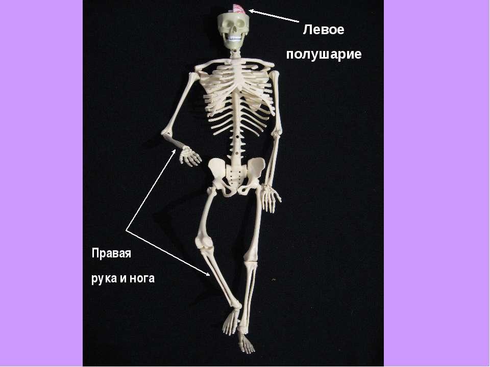 Левое полушарие Правая рука и нога