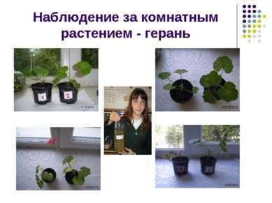 Наблюдение за комнатным растением - герань