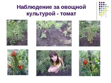 Наблюдение за овощной культурой - томат