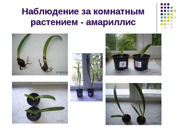 Наблюдение за комнатным растением - амариллис