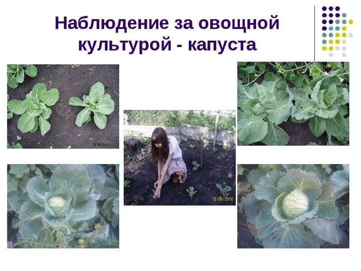Наблюдение за овощной культурой - капуста