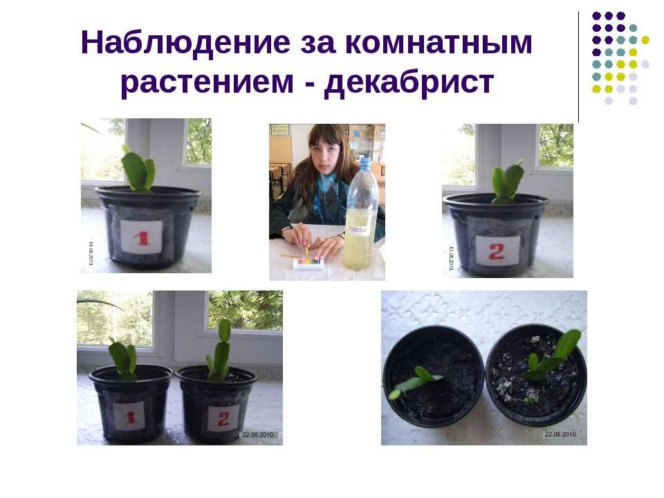 Наблюдение за комнатным растением - декабрист