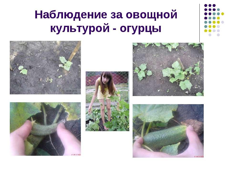 Наблюдение за овощной культурой - огурцы
