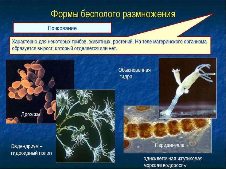 Формы бесполого размножения Почкование Характерно для некоторых грибов, живот...