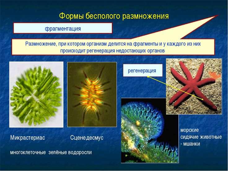 Формы бесполого размножения Размножение, при котором организм делится на фраг...