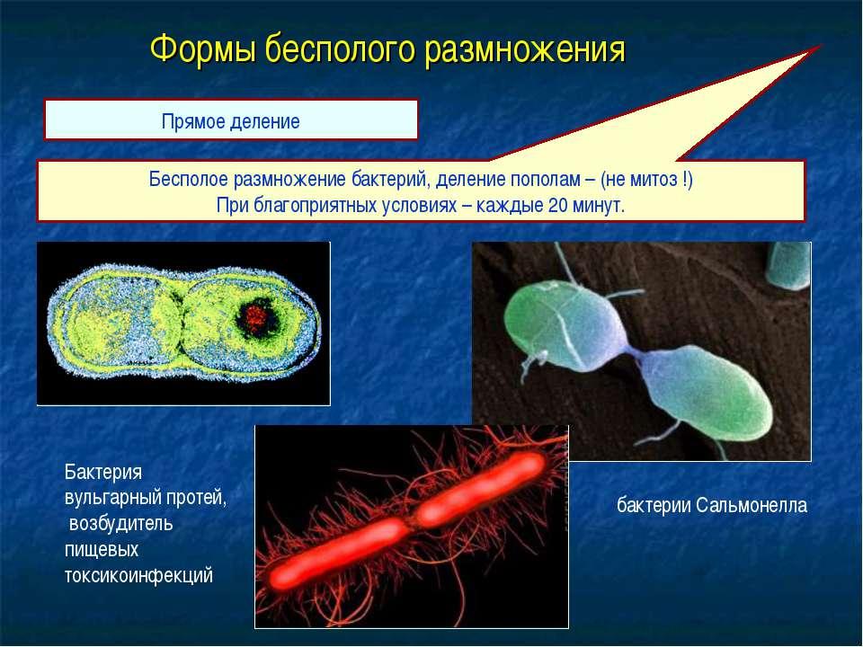 Формы бесполого размножения Бесполое размножение бактерий, деление пополам – ...