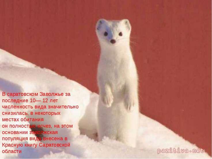 В саратовском Заволжье за последние 10— 12 лет численность вида значительно с...