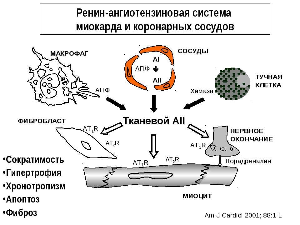 Ренин-ангиотензиновая система миокарда и коронарных сосудов Тканевой АII СОСУ...