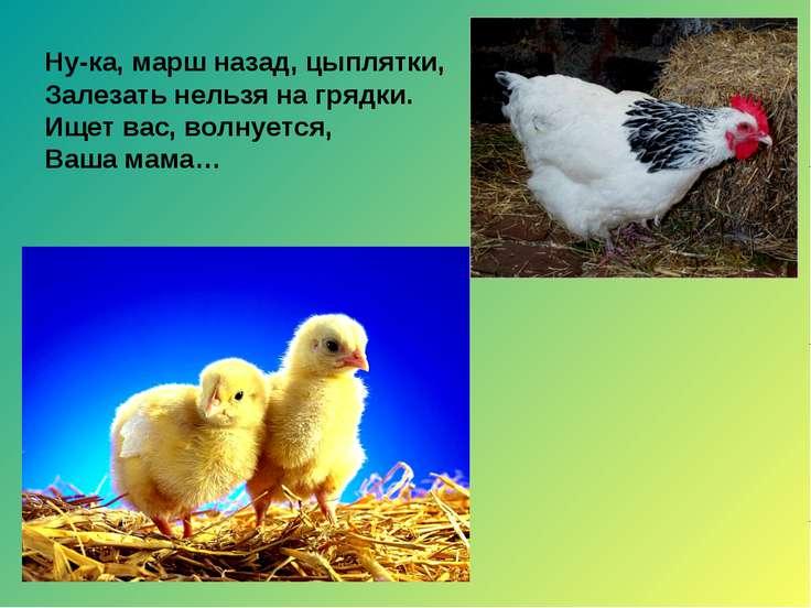 Ну-ка, марш назад, цыплятки, Залезать нельзя на грядки. Ищет вас, волнуется, ...