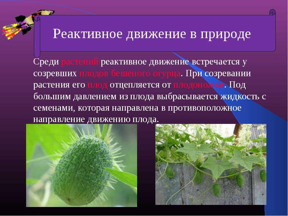 Среди растений реактивное движение встречается у созревших плодов бешеного ог...