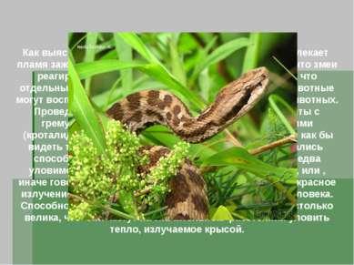 Ямкоголовые или тепловидящие змеи Как выяснили в 1892 году ученые, гремучих з...
