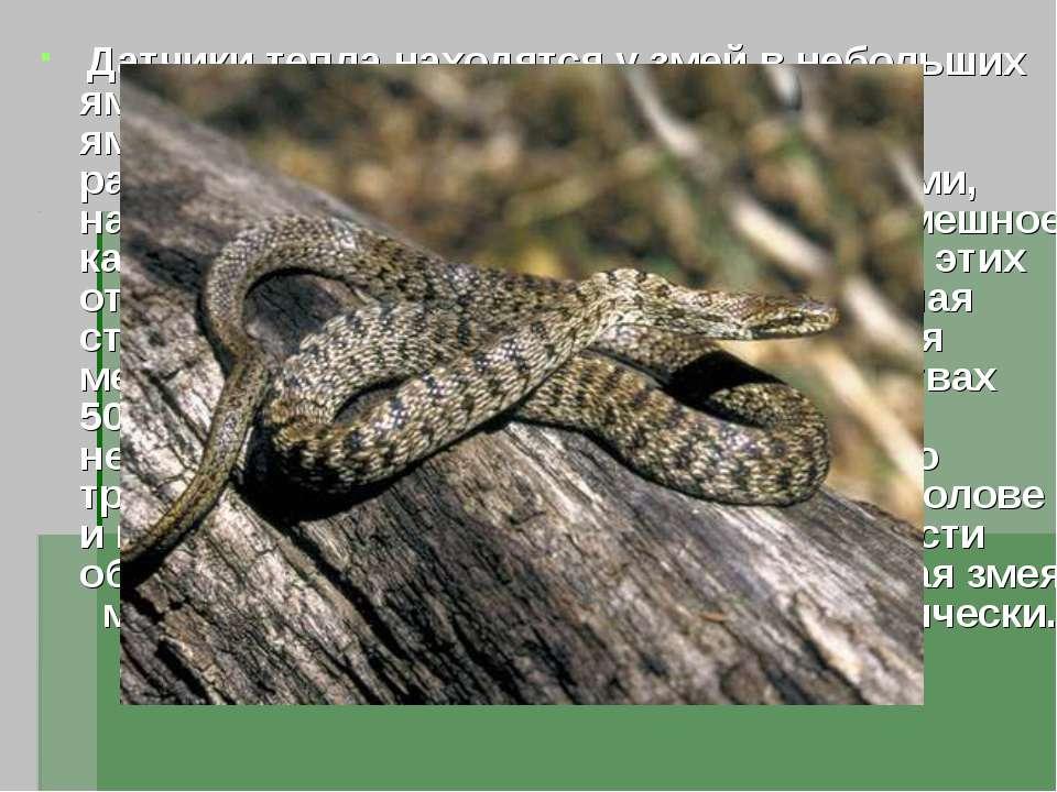 Датчики тепла находятся у змей в небольших ямках на морде , откуда и их назва...