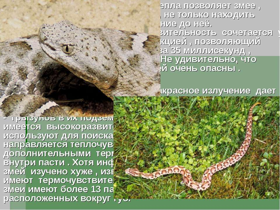 Стереоскопическое восприятие тепла позволяет змее , улавливая инфракрасные во...