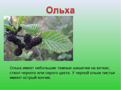 Ольха имеет небольшие темные шишечки на ветках, ствол черного или серого цвет...
