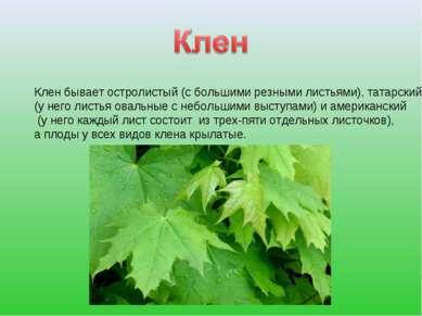 Клен бывает остролистый (с большими резными листьями), татарский (у него лист...