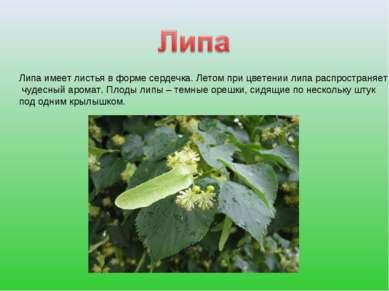 Липа имеет листья в форме сердечка. Летом при цветении липа распространяет чу...