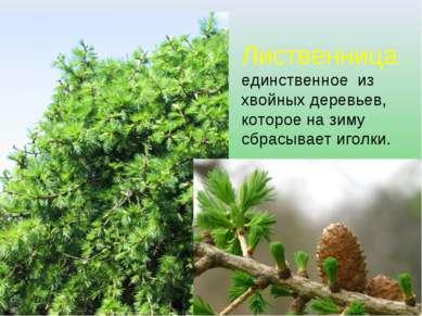 Лиственница – единственное из хвойных деревьев, которое на зиму сбрасывает иг...