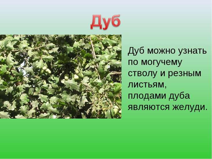 Дуб можно узнать по могучему стволу и резным листьям, плодами дуба являются ж...