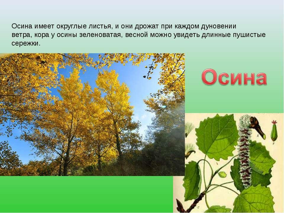 Осина имеет округлые листья, и они дрожат при каждом дуновении ветра, кора у ...