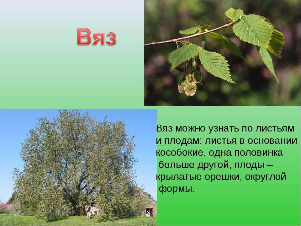 Вяз можно узнать по листьям и плодам: листья в основании кособокие, одна поло...
