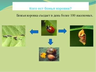Кого ест божья коровка? Божья коровка съедает в день более 100 насекомых. яйц...