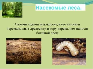 Насекомые леса. Своими ходами жук-короед и его личинки перемалывают древесину...