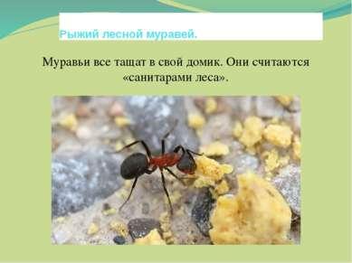 Рыжий лесной муравей. Муравьи все тащат в свой домик. Они считаются «санитара...